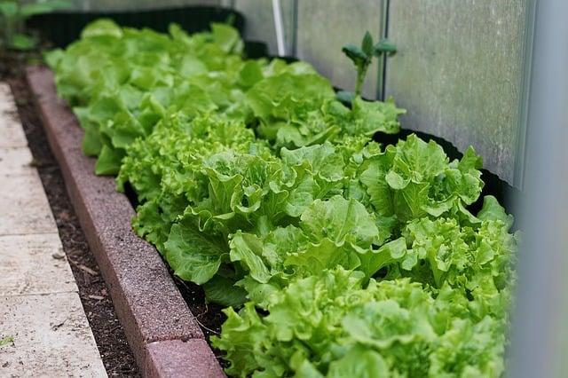 lettuce growing in greenhouse