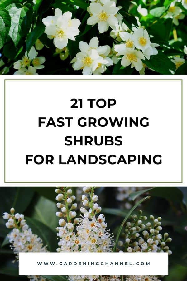 mock orange and cherry laurel shrub with text overlay twenty one top fast growing shrubs for landscaping