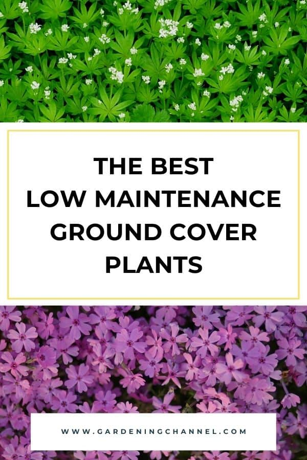 sweet woodruff and creeping phlox with text overlay the best low maintenance ground cover plants