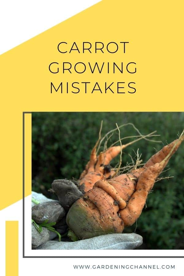carrot harvested from poor soil with text overlay carrot growing mistakes