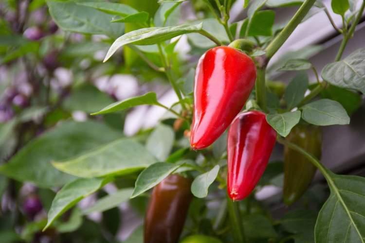 pepper plants growing
