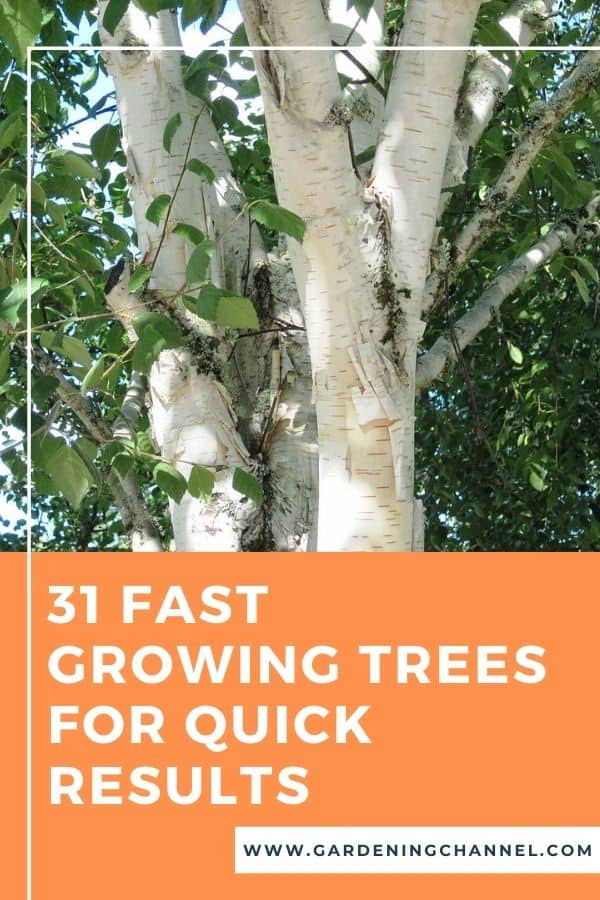 birch tree with text overlay 31 fast growing trees