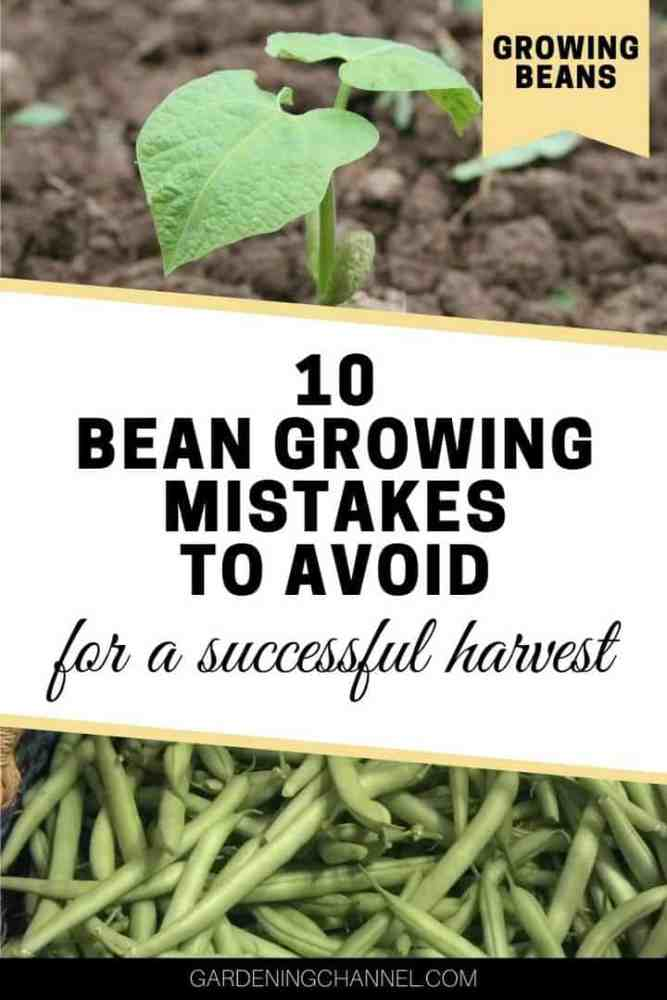 bean seedling and bean harvest with text overlay growing beans ten bean growing mistakes to avoid for a successful harvest