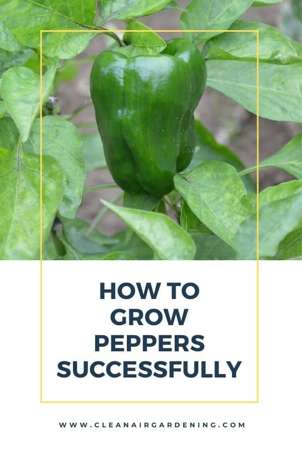 green pepper plant in garden with text overlay how to grow peppers successfully