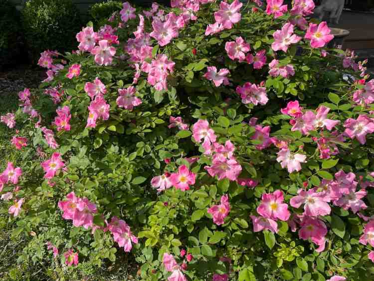 knockout rose bush growing and blooming