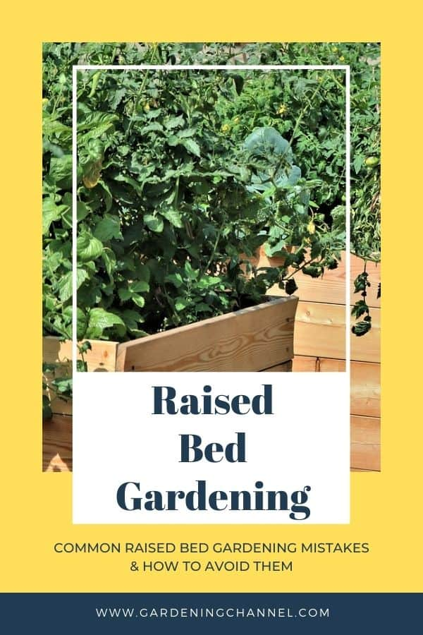 tomatoes growing in raised beds with text overlay raised bed gardening common raised bed gardening mistakes and how to avoid them