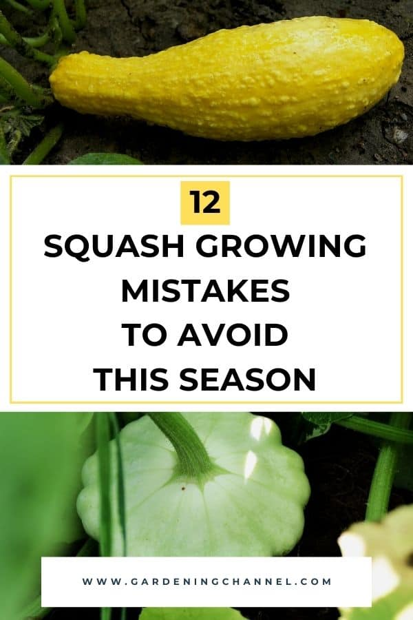 squash and pattypan growing in garden with text overlay twelve squash growing mistakes to avoid this season