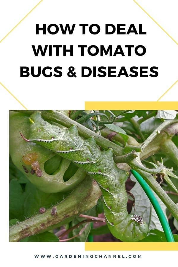 tomato hornworm with text overlay how to deal with tomato bugs and diseases