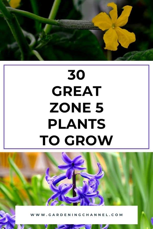 cucumbers and hyacinth with text overlay thirty great zone five plants to grow