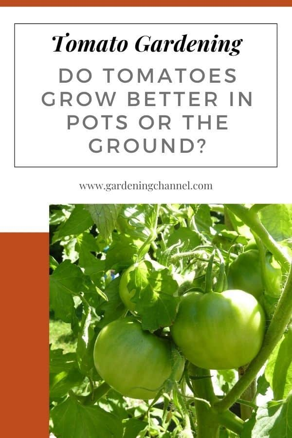 tomatoes in garden with text overlay tomato gardening Do Tomatoes Grow Better in Pots or the Ground?