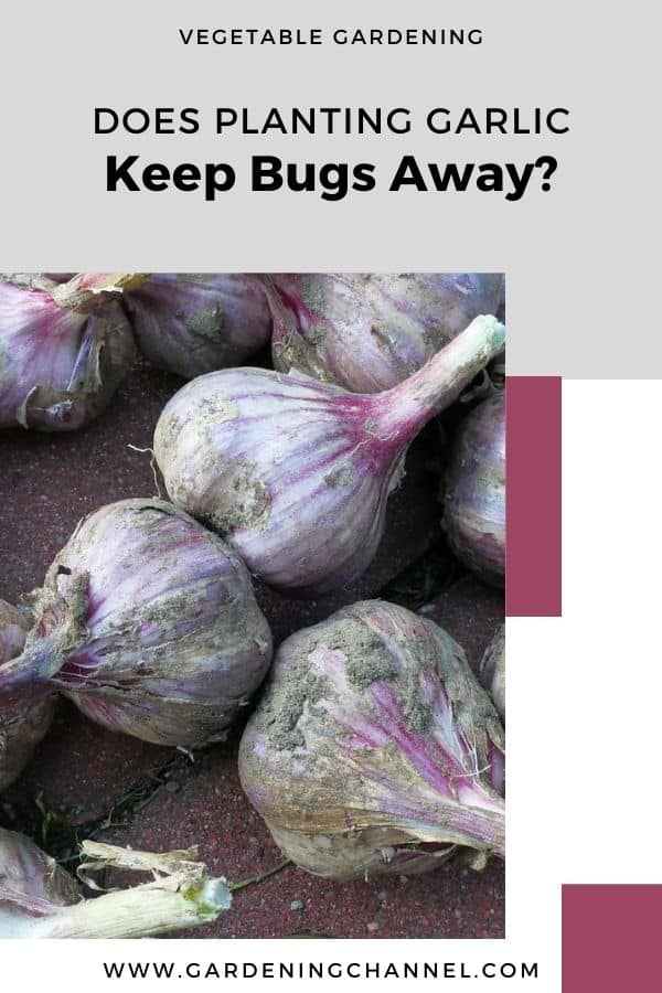 harvested garlic with text overlay vegetable gardening Does Planting Garlic Keep Bugs Away?