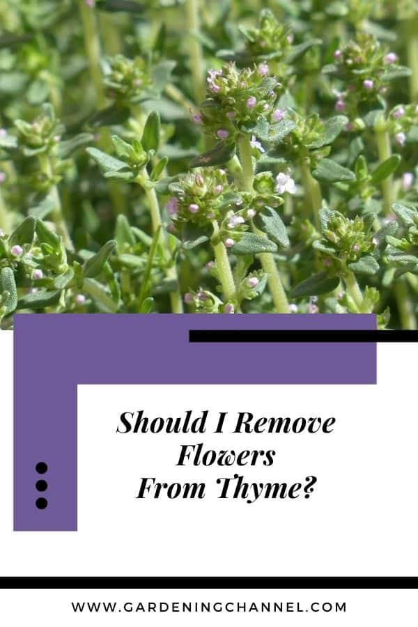 flowering thyme with text overlay Should I remove flowers from thyme?