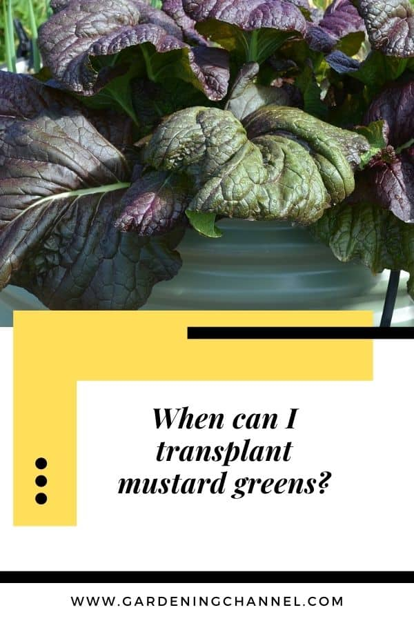 red mustard green leaves in container with text overlay When can I transplant mustard greens?
