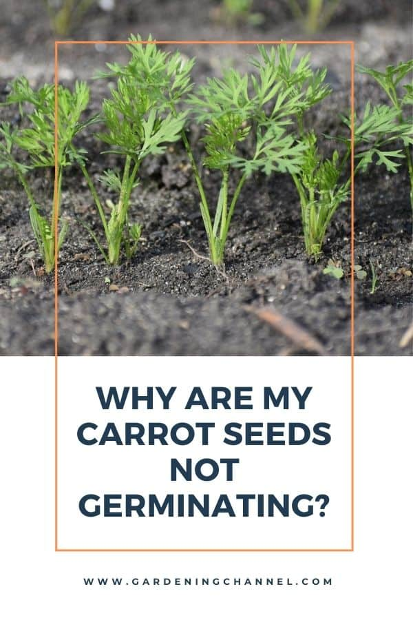 carrot seedlings with text overlay Why are my carrot seeds not germinating?