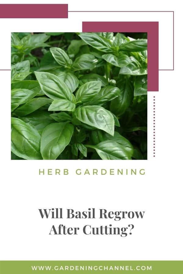 basil in garden herb gardening Will basil regrow after cutting?