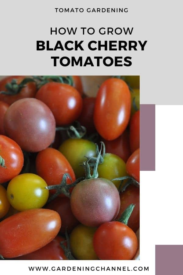 heirloom cherry tomatoes with text overlay tomato gardening how to grow black cherry tomatoes