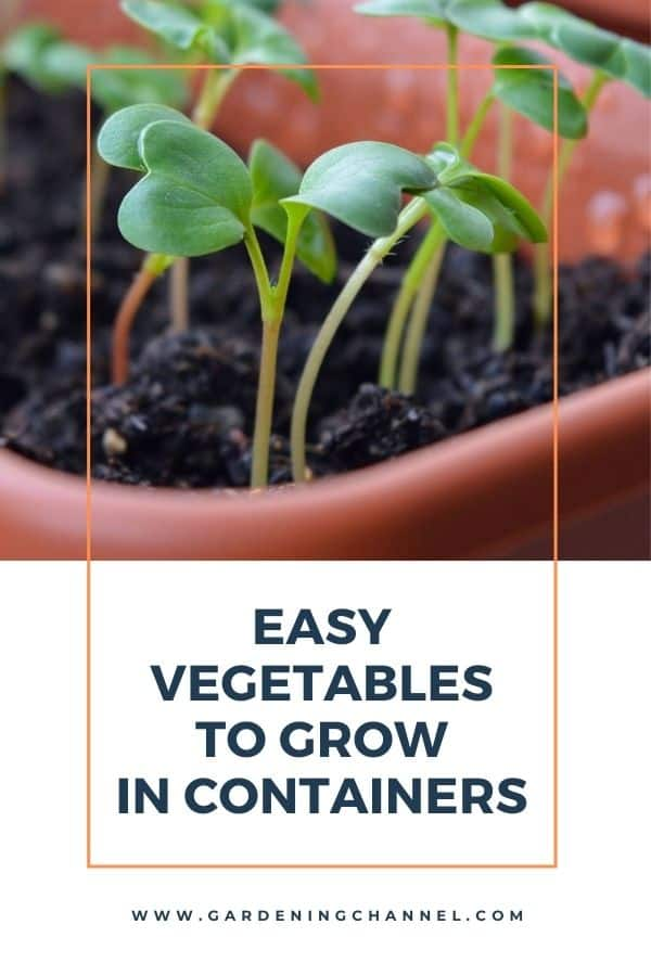 radish sprouts with text overlay easy vegetables to grow in containers