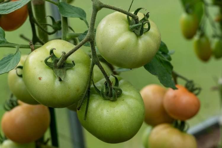Plant de tomates jalonnées de plus en plus