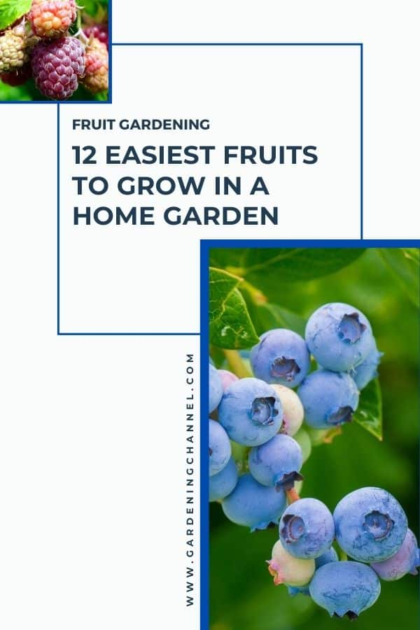 raspberries and blueberries with text overlay fruit gardening 12 Easiest Fruits to Grow in a Home Garden