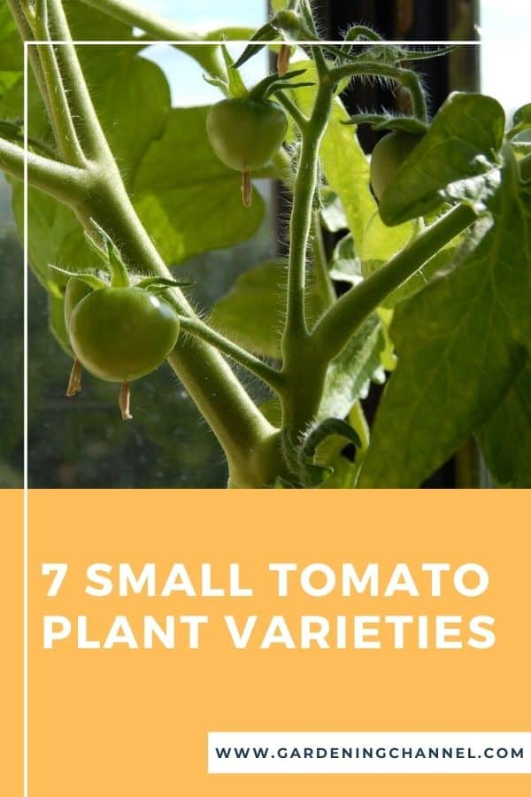 small tomato plant in windowsill with text overlay seven small tomatoes plant varieties