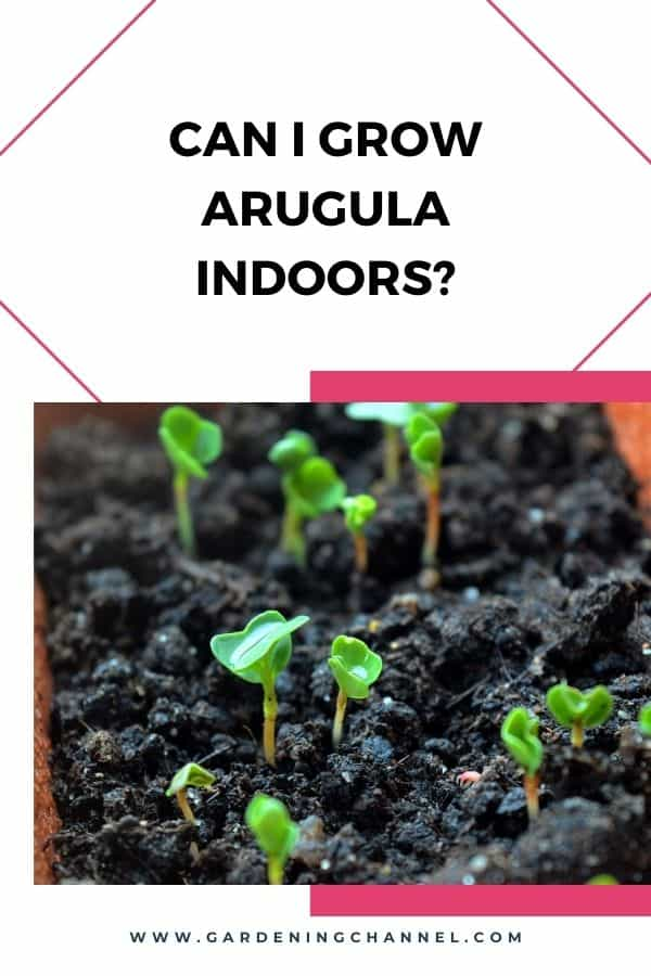 arugula growing in pot with text overlay can i grow arugula indoors