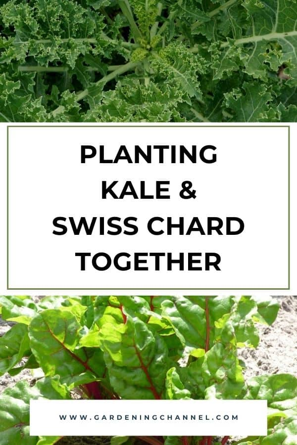 kale and swiss chard growing in garden with text overlay planting kale and swiss chard together