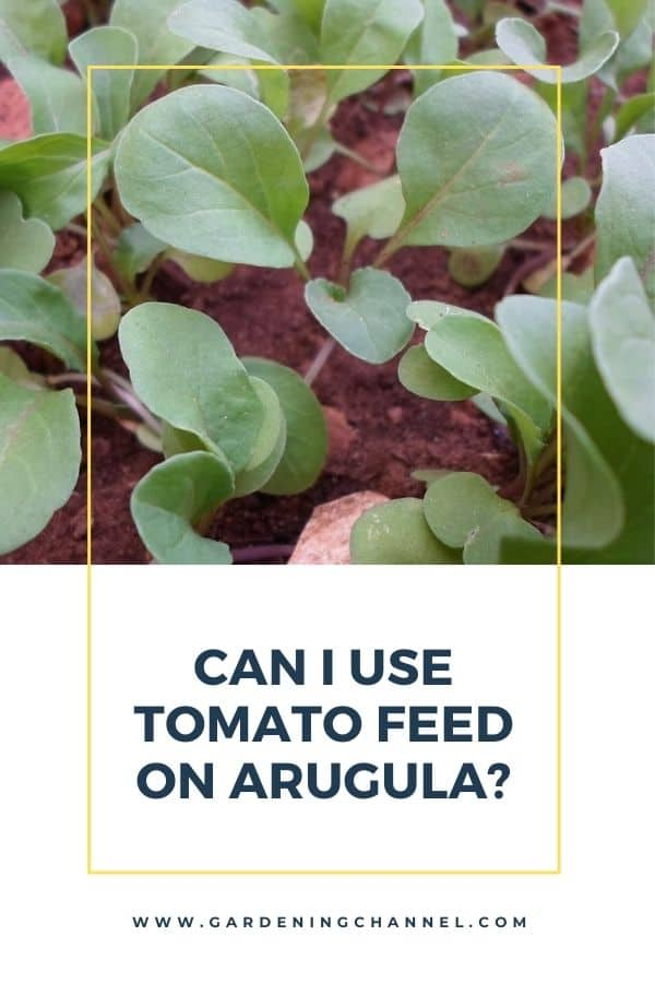 arugula in garden with text overlay can I use tomato feed on arugula
