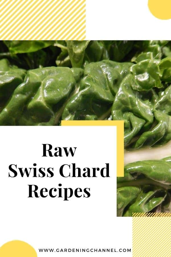raw swiss chard with text overlay raw swiss chard recipes