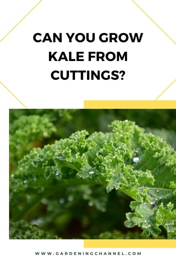 kale leaf with text overlay Can you grow kale from kale?