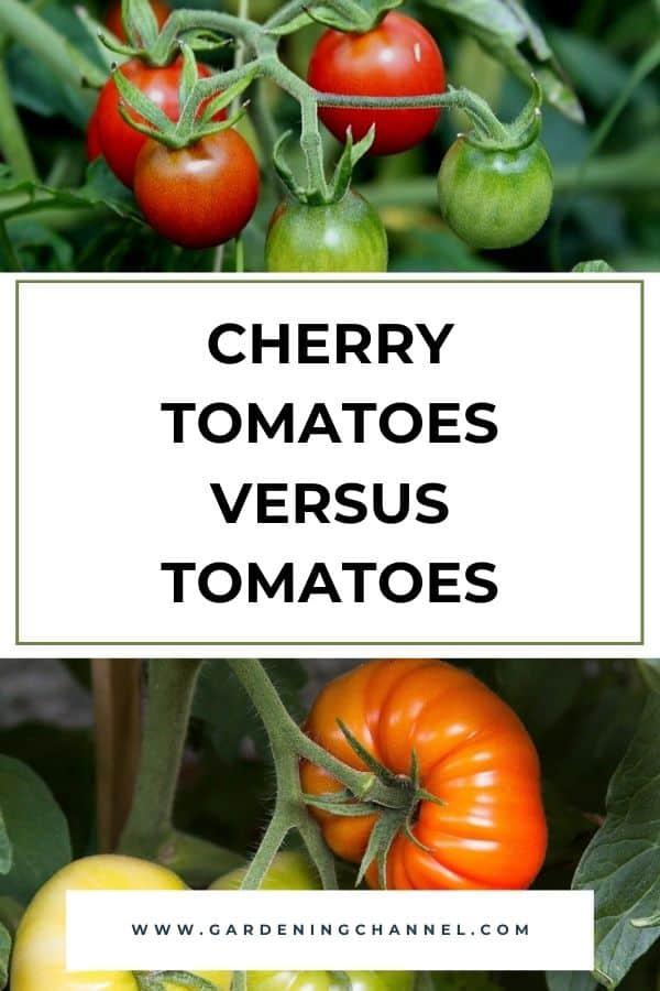 cherry tomatoes and regular tomatoes in garden with text overlay Cherry Tomatoes Versus Tomatoes