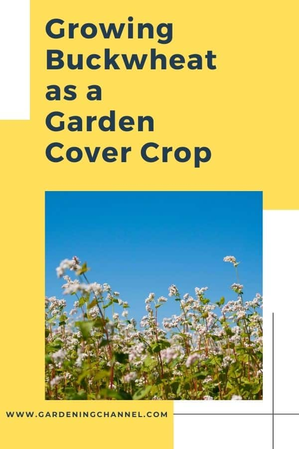 buckwheat growing with text overlay Growing Buckwheat as a Garden Cover Crop