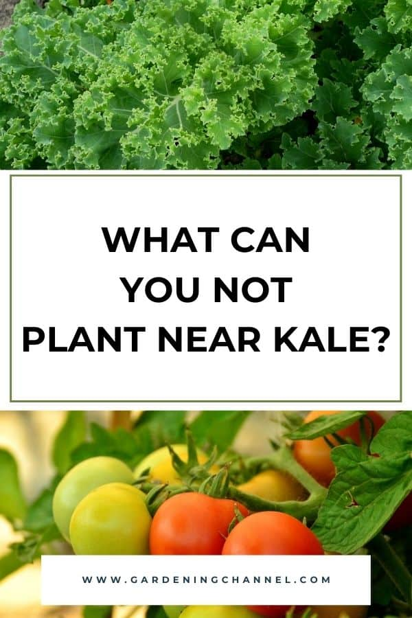 kale and tomato plants in garden with text overlay What can you not plant near kale?