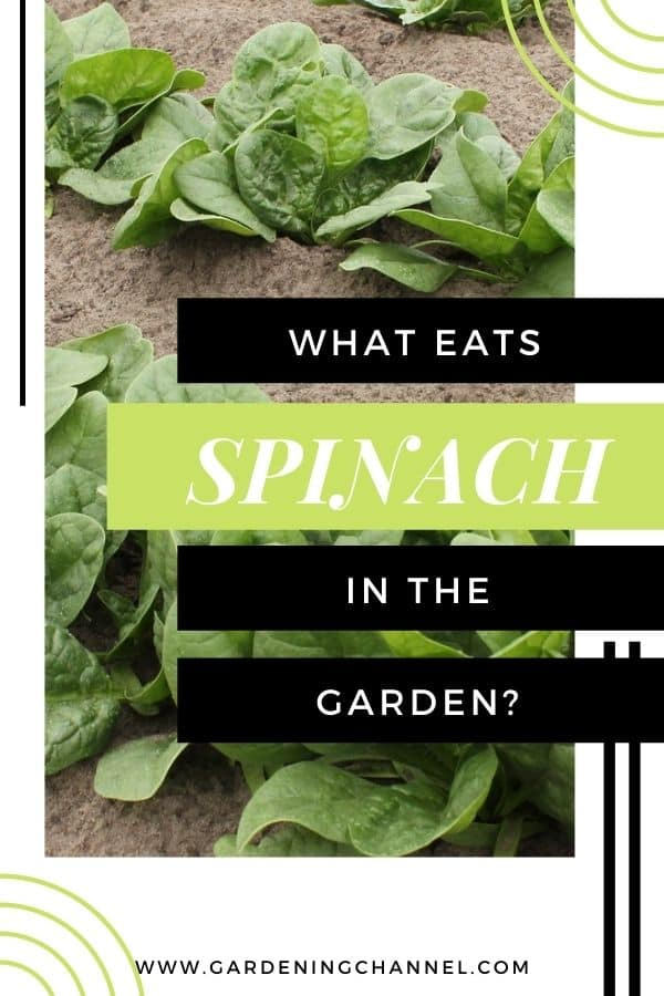 spinach growing in garden with text overlay what eats spinach in the garden
