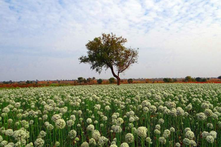 onion field flowering