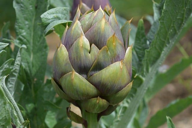 winterizing artichoke plant