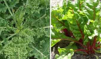 companion planting kale and swiss chard