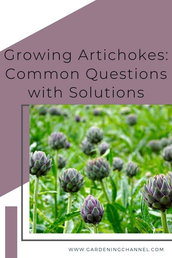 artichokes in garden with text overlay growing artichokes common questions with solutions