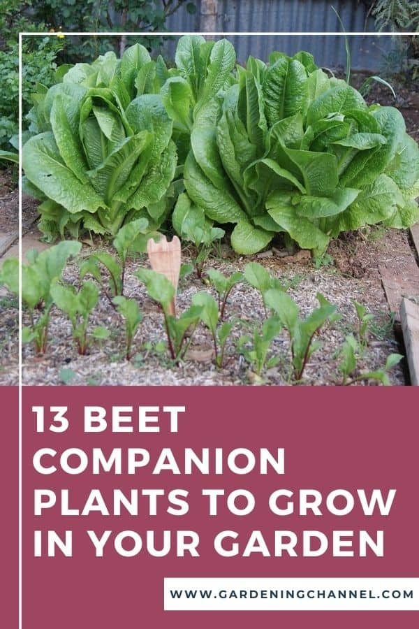 beets and lettuce in garden with text overlay 13 Beet Companion Plants You Need to Grow in Your Garden