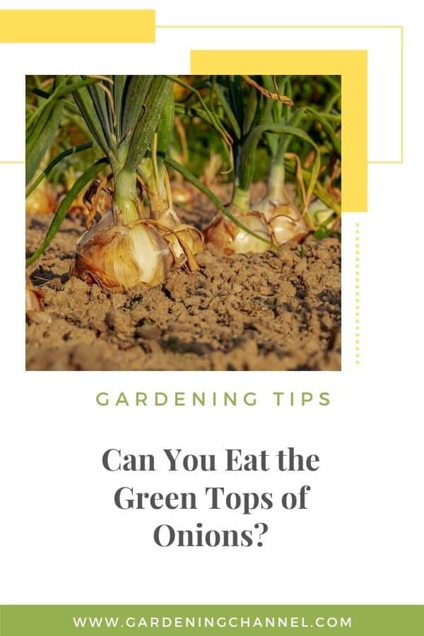 onions in garden with text overlay Can You Eat the Green Tops of Onions?