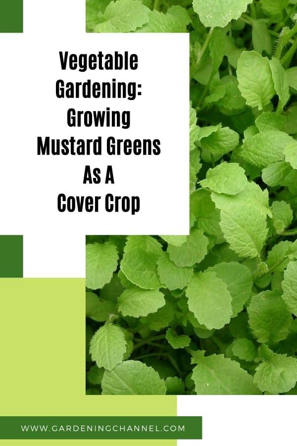 mustard greens with text overlay vegetable gardening growing mustard greens as a cover crop