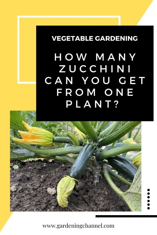 zucchini in garden with text overlay vegetable gardening How many zucchini can you get from one plant?