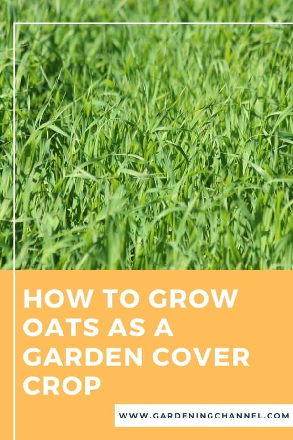 green oats with text overlay How to Grow Oats as a Garden Cover Crop