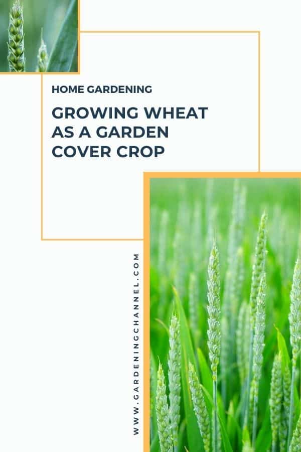 wheat in garden and wheat flower with text overlay home gardening growing wheat as a garden cover crop