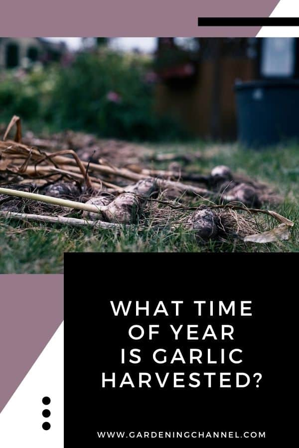 freshly harvested garlic with text overlay what time of year is garlic harvested