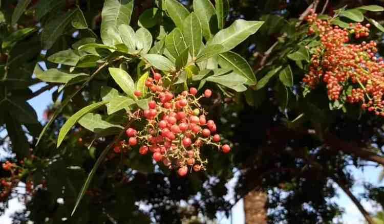 brazilian pepper tree