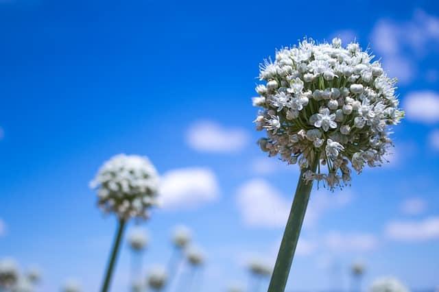 flowering onion bloom