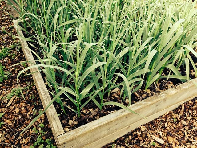 garlic in raised bed for companion planting