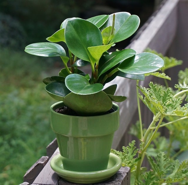 caring for baby rubber plants