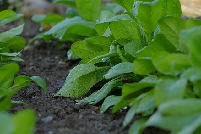 spinach companion plant garlic