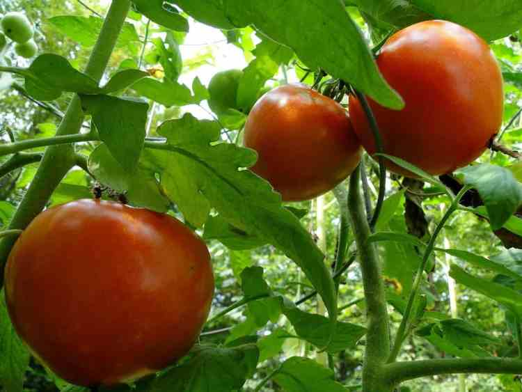 red tomatoes ripe on vine